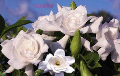 gardenia flower, gardenia