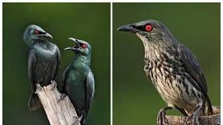perawatan burung cucak keling termudah