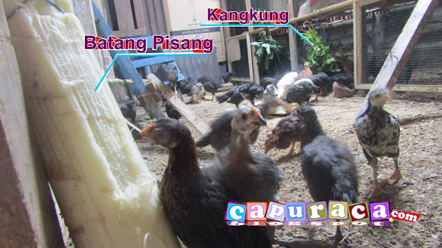 pakan alternatif untuk ayam, makanan alternatif untuk ayam