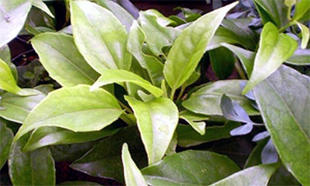 Guaco (Mikania glomerata Spreng)