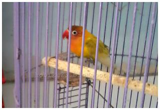 Manfaat mandi malam untuk burung lovebrid