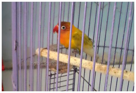 Manfaat mandi malam untuk burung lovebrid Manfaat Mandi Malam Untuk Burung Love Brid