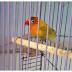 Manfaat Mandi Malam Untuk Burung Love Brid