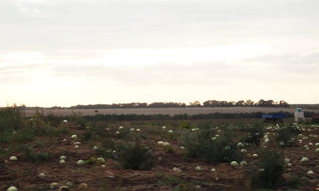 Pod Odessą - pola melonów