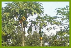 pepaya,tanaman,tropis