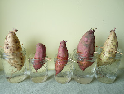 Sweet Potatoes Half Submerged in Jars, So They Will Form Slips for Rooting