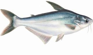 Cara Budidaya Ikan Patin di Kolam Tembok