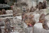 Manada de babuínos
