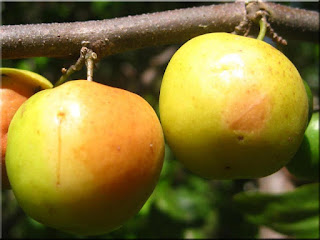 Indian Jujube Fruit (Scientific name is Ziziphus mauritiana)