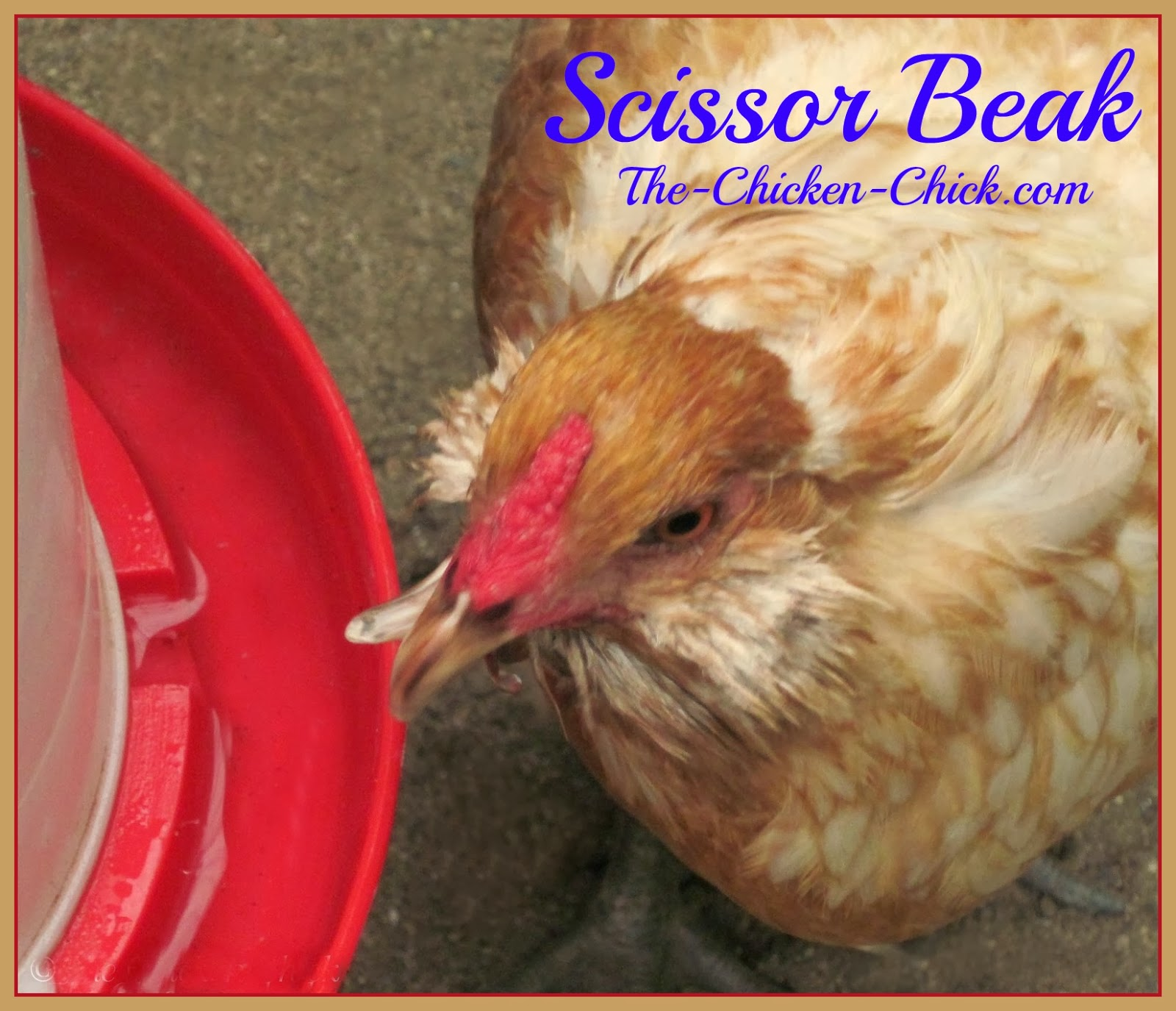 Scissor beak, aka: crossed beak or crooked beak, is a condition characterized by the top and bottom beak halves failing to align properly. It can be caused by genetics or the inability to maintain the beak's length and shape by normal honing on rocks or other hard surfaces. Scissor beak is not an automatic bid for euthanasia; most chickens with scissor beak can live normal, happy lives with a few minor accommodations. Scissor beak in new chicks can be very subtle as with my Easter Egger, Ethel. It ordinarily worsens over time.