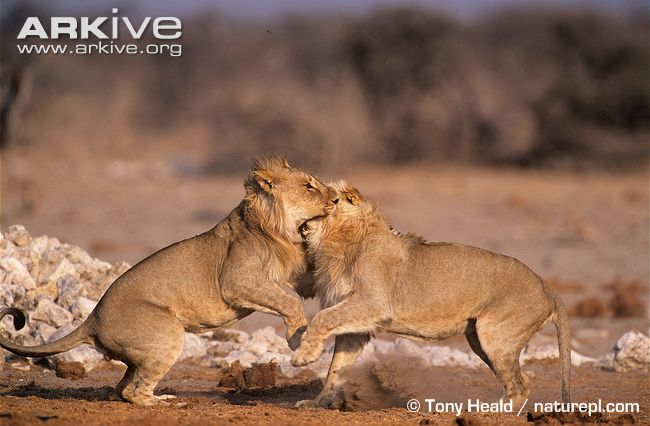Aninimal Book: My Top Collection: African lions fighting