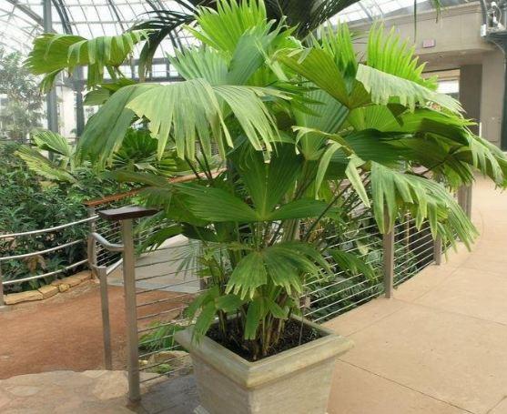 Carludovica Palmata Panama-hat Plant