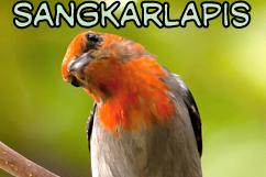 5 Cara Akurat Menjinakan Burung Cabe-cabean