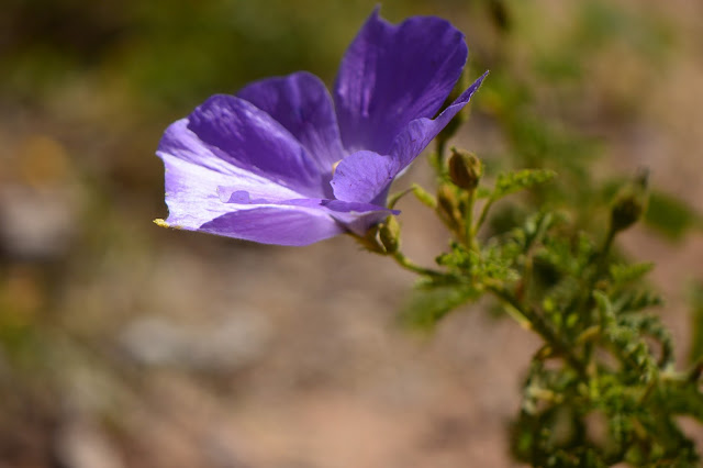 blue hibiscus, alyogyne huegelii, australian planrts, amy myers, photography, garden, desert garden