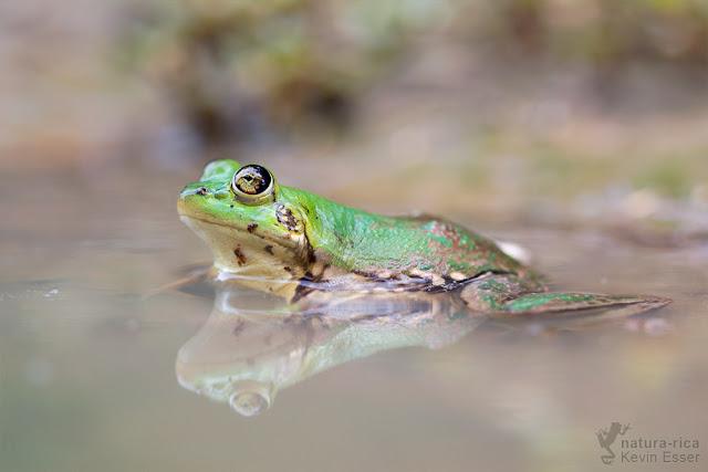 Paradoxical Frog - Pseudis paradoxa