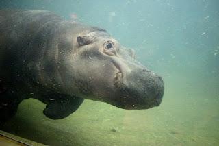 Hippopotamus amphibious