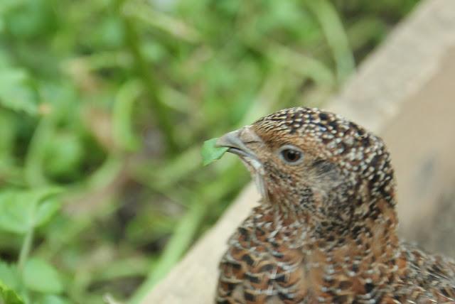 Growing nutritous watercress for organic quail