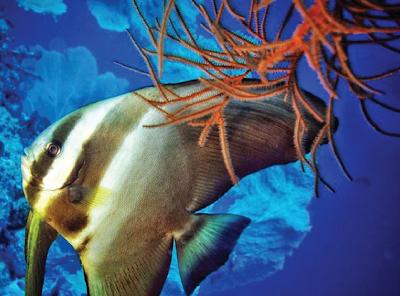 Habitat & Karakteristik Longfin Batfish