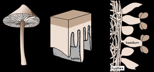 Amanita muscaria: Spore Dispersal & Spreading of the Mycelium