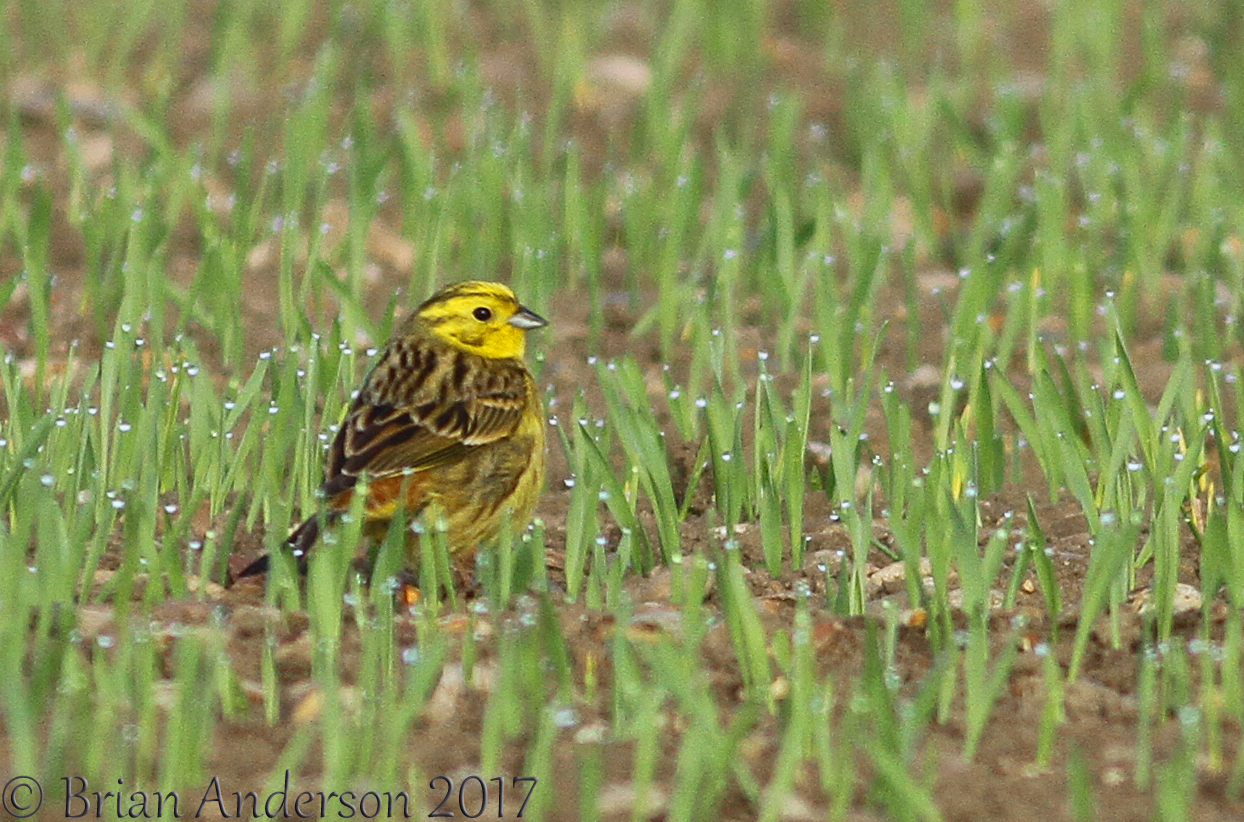 Yellowhammers two v Ring Ouzels NIL