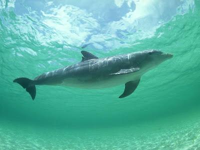 Foto de delfin bajo el agua