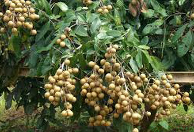 The Complete Guide To Information About Plants Growing And Terms As Well As Lengkeng Nutrient Content In Fruit Lengkeng