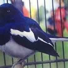 Beberapa Terapi Untuk Mengatasi Burung Kacer Mbagong