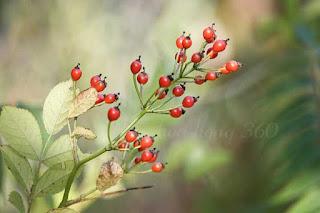 những giống hoa hồng dại cho quả nhiều nhất