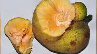 fruit around the world, strange fruit, strange fruit around the world, crazy fruit, crazy fruit around the world, MONKEY FRUIT