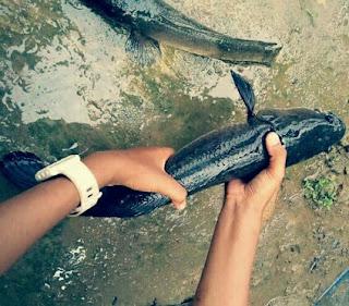 Umpan Ikan Gabus Alami dan Racikan Paling Ampuh