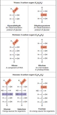 Glyceraldehyde, Dihydroxyacetone, Ribose, Ribulose, Glucose, Galactose, Fructose,