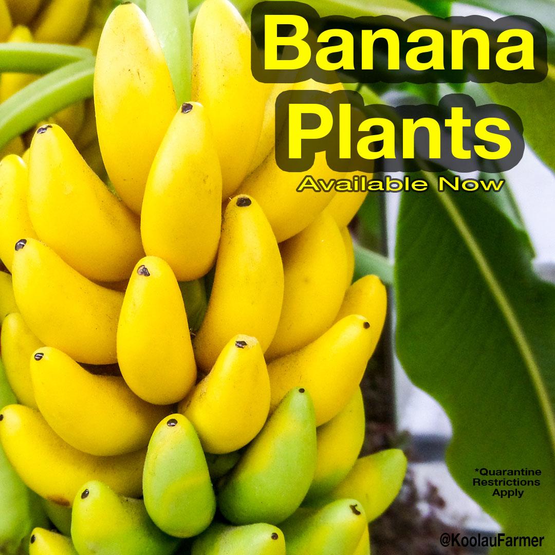 Banana Plants New To Daleys Fruit Tree Nursery