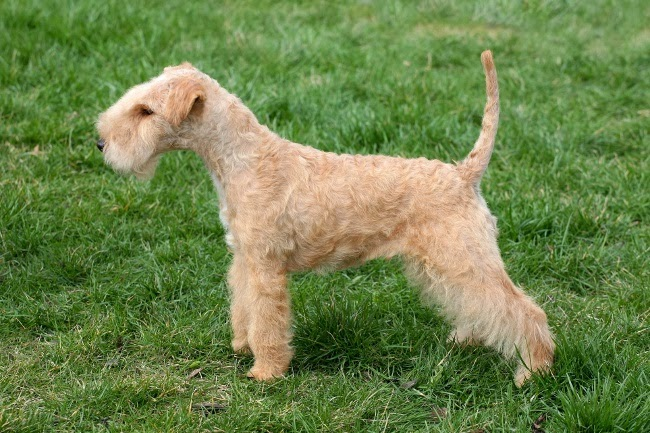 Psy rasy Lakeland terrier