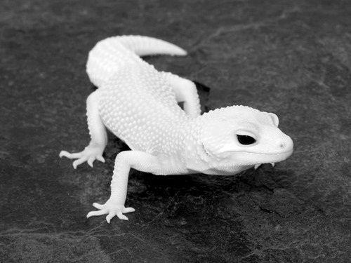 Gecko   A-Z List of 125 Rare Albino Animals [Pics]