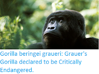 https://sciencythoughts.blogspot.com/2016/10/gorilla-beringei-graueri-grauers.html