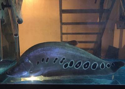 Clown Knifefish Si Ikan Belida Bertubuh Pisau