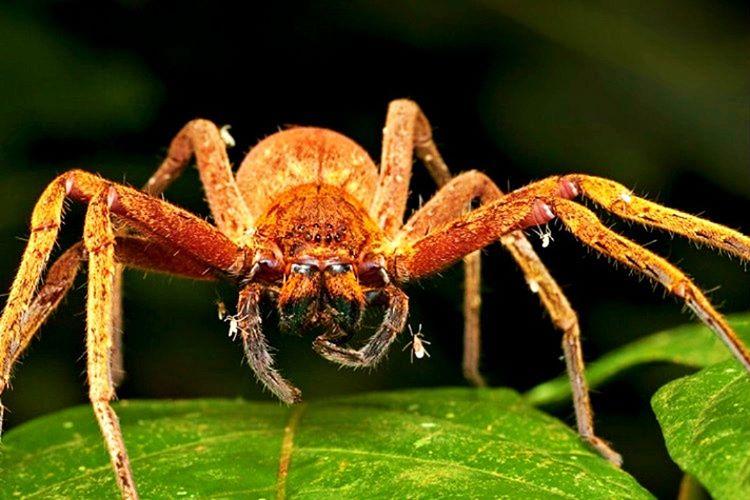 Brezilya Gezgin Örümceği tehlike altında olduğunu sezerse saldırı pozisyonuna geçerek ön ayaklarını kaldırır.