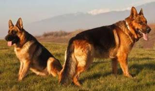 Ausgebildete deutsche Schäferhunde sind für den Schutz unerlässlich