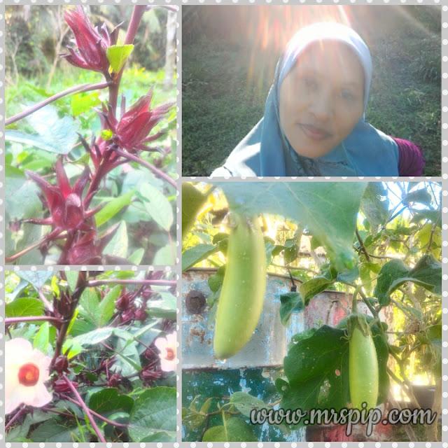 Khasiat buah Roselle