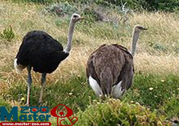 ماذا تعرف عن النعامة وماهى أهم مميزاتها Ostrich
