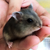 Hamster Saphia Giá Chỉ 60.000đ