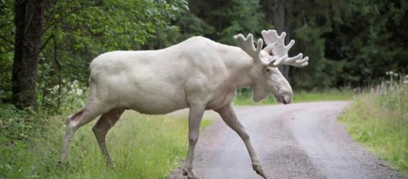Σουηδία:Ο φακός κατέγραψε σπάνια λευκή άλκη! (βίντεο)