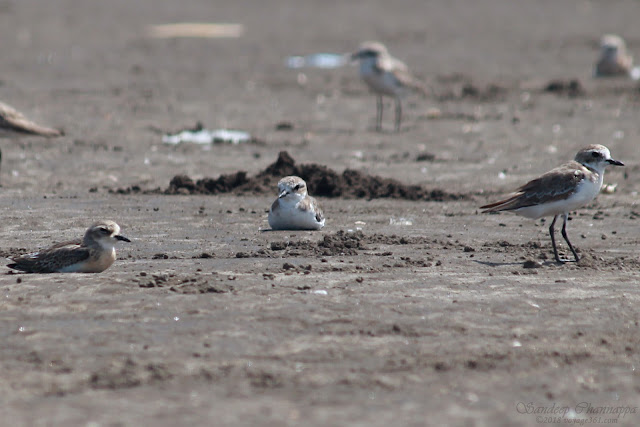 Lesser Sand Plover resting on the grounds