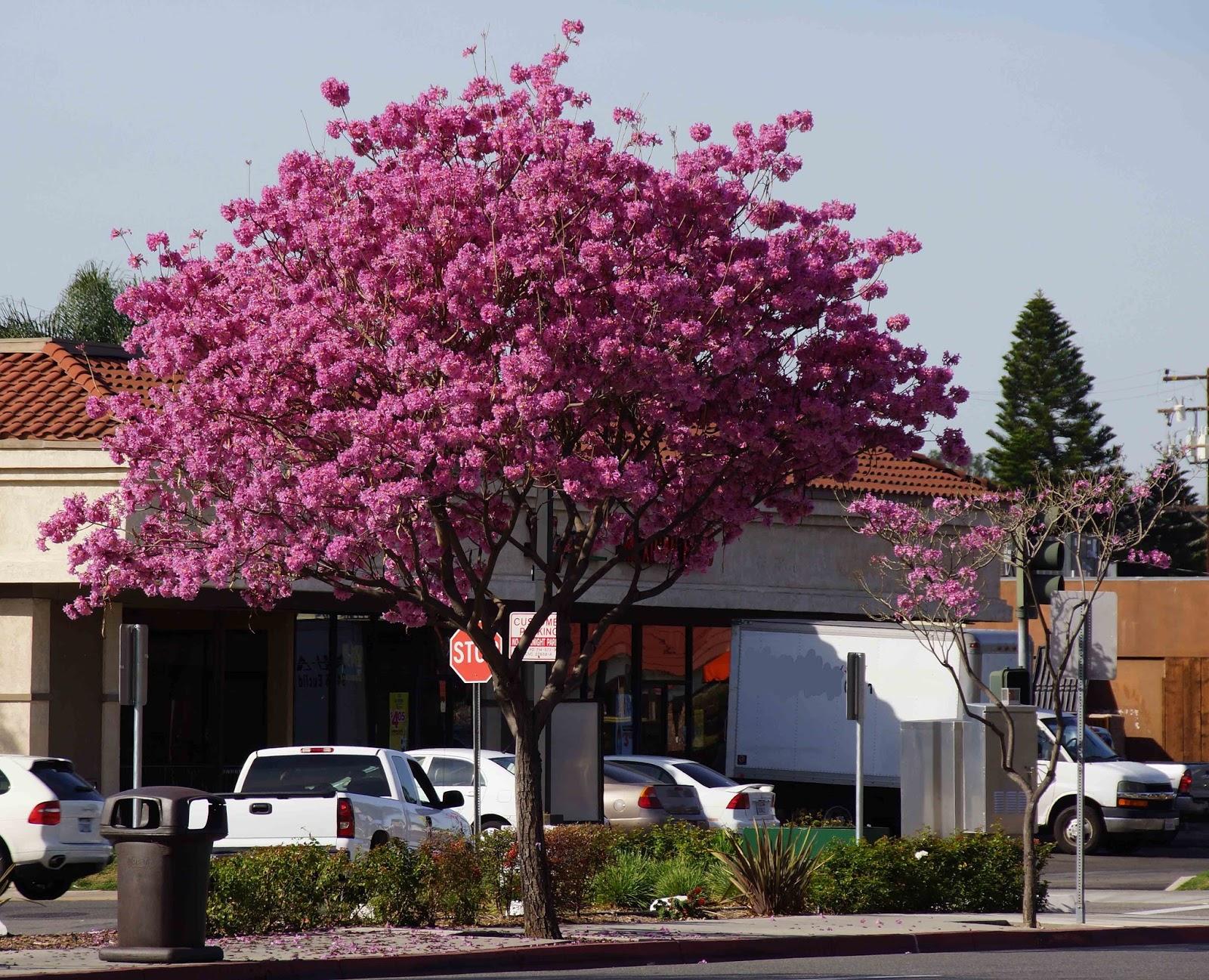 Pink Lavender Trumpet Tree
