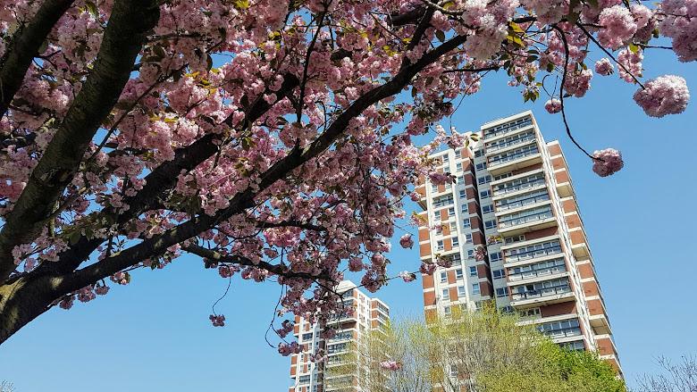 櫻花與 Canada Water 的兩棟大樓
