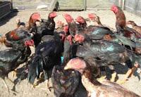 Ayam siam betima Jepang