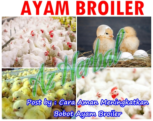 Cara Aman Meningkatkan Bobot Ayam Broiler