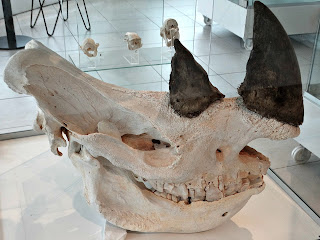 Esqueleto de Rinoceronte, Museo Moyano de Mendoza