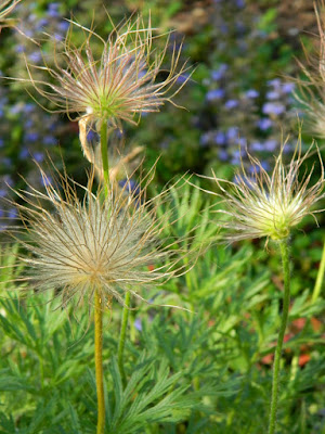 Pasque flower Pulsatilla vulgaris seed heads by garden muses-not another Toronto gardening blog