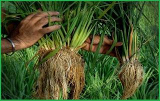 usaha pertanian